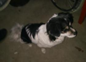寻狗启示,旺财,2月12日在德阳走丢,它是一只非常可爱的宠物狗狗,希望它早日回家,不要变成流浪狗。