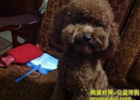 寻狗启示,浙江金华武义寻巧克力色贵宾,它是一只非常可爱的宠物狗狗,希望它早日回家,不要变成流浪狗。
