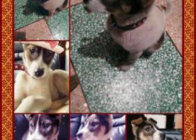 在瓯北和三丢失三四个月的小狗,它叫小花