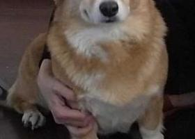 北京香山附近12岁柯基犬Cookie