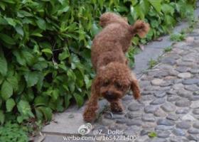 寻狗启示,5斤重公的3岁泰迪,叫石头,福建泉州!1500元!,它是一只非常可爱的宠物狗狗,希望它早日回家,不要变成流浪狗。
