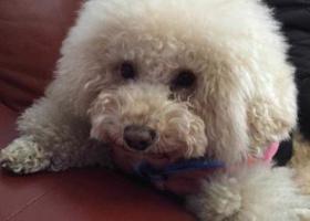 寻狗启示,寻养了8年的香槟色偏白(浅黄色)贵宾 1万元重酬,它是一只非常可爱的宠物狗狗,希望它早日回家,不要变成流浪狗。
