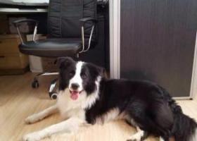 寻狗启示,马鞍山雨山区江东商场悬赏三千元寻找边境牧羊犬,它是一只非常可爱的宠物狗狗,希望它早日回家,不要变成流浪狗。