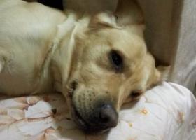 寻狗启示,二月十四号晚上在和平路附近捡到一只拉布拉多,它是一只非常可爱的宠物狗狗,希望它早日回家,不要变成流浪狗。