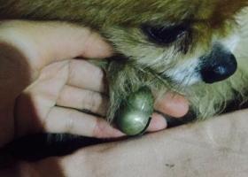 捡到一只棕色博美,脖子上有个铃铛!葫芦形状。