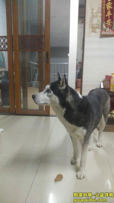 2月17日晚家跑来一只哈士奇,它是一只非常可爱的宠物狗狗,希望它早日回家,不要变成流浪狗。