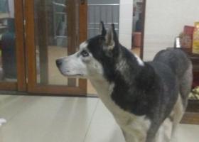 寻狗启示,2月17日晚家跑来一只哈士奇,它是一只非常可爱的宠物狗狗,希望它早日回家,不要变成流浪狗。