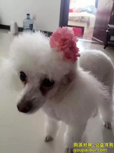 了一条白色贵宾犬,母狗