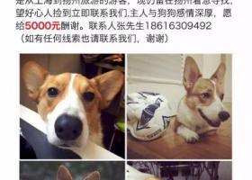 寻狗启示,5000重金悬赏寻狗启示!主人在扬州在线急等!,它是一只非常可爱的宠物狗狗,希望它早日回家,不要变成流浪狗。