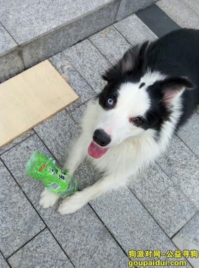 【深圳找狗】,大家帮忙找一下我的爱犬边牧,体形较大,两只眼睛颜色不一样,它是一只非常可爱的宠物狗狗,希望它早日回家,不要变成流浪狗。