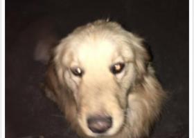 寻狗启示,金毛宝宝一只,它是一只非常可爱的宠物狗狗,希望它早日回家,不要变成流浪狗。