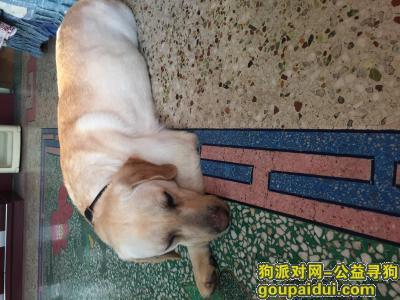 【临汾捡到狗】,在狗贩子那买到一只成年拉布拉多犬,它是一只非常可爱的宠物狗狗,希望它早日回家,不要变成流浪狗。