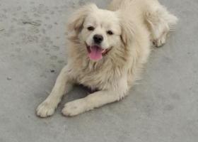 寻狗启示,希望关心流浪狗的好心人积极转发我发布的寻狗启示,谢谢!,它是一只非常可爱的宠物狗狗,希望它早日回家,不要变成流浪狗。