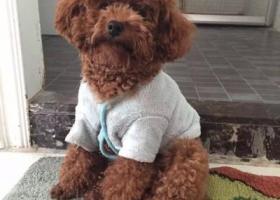 寻狗启示,寻狗:一贵宾走失,3月2日在广东省汕头市华侨公园走失,它是一只非常可爱的宠物狗狗,希望它早日回家,不要变成流浪狗。