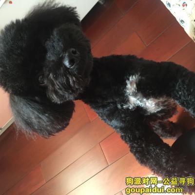 寻狗启示,济南 历下区舜怡佳园南门寻找黑色泰迪,它是一只非常可爱的宠物狗狗,希望它早日回家,不要变成流浪狗。