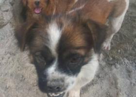 寻狗启示,寻找2只狗狗,急死了,它是一只非常可爱的宠物狗狗,希望它早日回家,不要变成流浪狗。