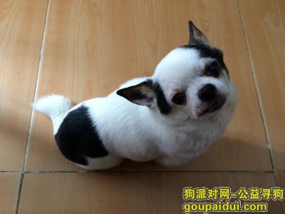 寻白底黑花吉娃娃小狗(昆明尚义街北京路走失)