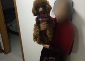 寻狗启示,湖北黄冈市黄州区寻狗启示,它是一只非常可爱的宠物狗狗,希望它早日回家,不要变成流浪狗。