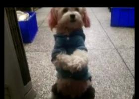 寻狗启示,大家帮帮忙找找可怜的小狗,它是一只非常可爱的宠物狗狗,希望它早日回家,不要变成流浪狗。