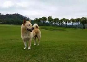 寻狗启示,寻找走失的爱犬!【找到诚心酬謝人民币5000元】,它是一只非常可爱的宠物狗狗,希望它早日回家,不要变成流浪狗。