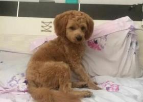寻狗启示,寻在湖北燕厦服务区丢失的贵宾串,它是一只非常可爱的宠物狗狗,希望它早日回家,不要变成流浪狗。