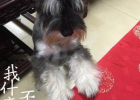 寻狗启示,寻城厢区育华小区附近走失狗狗一只,灰白雪纳瑞狗,13808571208.酬谢1千,它是一只非常可爱的宠物狗狗,希望它早日回家,不要变成流浪狗。