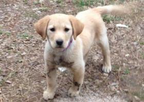 寻狗启示,浙江金华兰溪寻找走失拉布拉多幼犬,它是一只非常可爱的宠物狗狗,希望它早日回家,不要变成流浪狗。