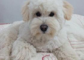武汉2000寻找9月大白色泰迪犬timo