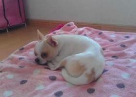 寻狗启示,吉娃娃丢失在2016年3月3日上午在连云港海州区板浦镇板浦高中附近丢失,它是一只非常可爱的宠物狗狗,希望它早日回家,不要变成流浪狗。