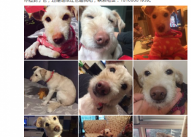 寻狗启示,3月7日,德阳平安小区平康苑附近,黄白毛土狗(母),它是一只非常可爱的宠物狗狗,希望它早日回家,不要变成流浪狗。