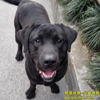 【上海捡到狗】,上海黑拉布拉多找主人,它是一只非常可爱的宠物狗狗,希望它早日回家,不要变成流浪狗。