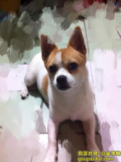 【上海找狗】,寻狗 小土狗类似吉娃娃 在卢湾区走失 有偿感谢!,它是一只非常可爱的宠物狗狗,希望它早日回家,不要变成流浪狗。