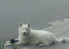 寻狗启示,一岁半萨摩耶Alice走丢了,它是一只非常可爱的宠物狗狗,希望它早日回家,不要变成流浪狗。