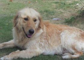 寻狗启示,寻找5岁金毛丢丢!!,它是一只非常可爱的宠物狗狗,希望它早日回家,不要变成流浪狗。