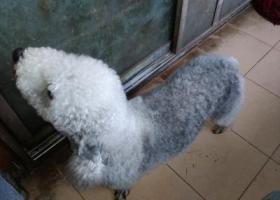 寻狗启示,3.18 南岸福利社 捡到成年贝林顿犬一条 主人看到了来领回去吧,它是一只非常可爱的宠物狗狗,希望它早日回家,不要变成流浪狗。