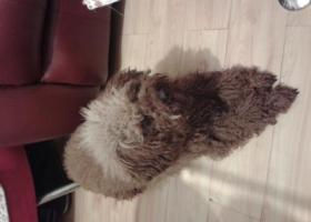 捡到一只泰迪小狗,寻找主人