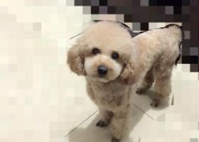 寻狗启示,泰迪公狗香嫔色,祈求不要伤害它,找到必有重谢,它是一只非常可爱的宠物狗狗,希望它早日回家,不要变成流浪狗。