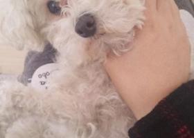 寻狗启示,丢失于高邮扬州国道,白色小贵宾,它是一只非常可爱的宠物狗狗,希望它早日回家,不要变成流浪狗。
