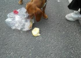 寻狗启示,无锡 东亭 附近捡到 一只腊肠犬,它是一只非常可爱的宠物狗狗,希望它早日回家,不要变成流浪狗。