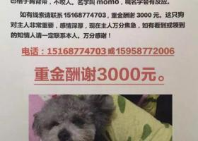 寻狗启示,乐清柳市找狗3月20日晚上七点钟左右在柳市惠丰西路35号跑出(翔金垟附近),它是一只非常可爱的宠物狗狗,希望它早日回家,不要变成流浪狗。