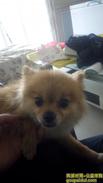 济宁寻狗主人,捡到博美犬一条黄色母的,它是一只非常可爱的宠物狗狗,希望它早日回家,不要变成流浪狗。