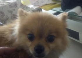 寻狗启示,捡到博美犬一条黄色母的,它是一只非常可爱的宠物狗狗,希望它早日回家,不要变成流浪狗。