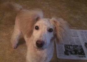 寻狗启示,为走丢的贵宾狗狗寻找主人,它是一只非常可爱的宠物狗狗,希望它早日回家,不要变成流浪狗。