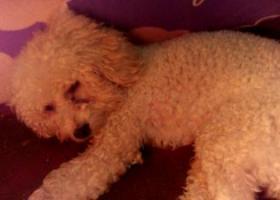 寻狗启示,3月24日中午在邯郸市中华大街与人民路交叉口附近捡到,它是一只非常可爱的宠物狗狗,希望它早日回家,不要变成流浪狗。