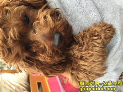 扬州找狗主人,捡到泰迪一只,三盛附近,寻失主,它是一只非常可爱的宠物狗狗,希望它早日回家,不要变成流浪狗。