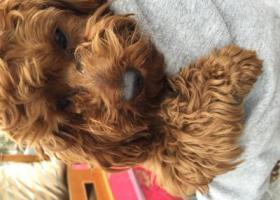 寻狗启示,捡到泰迪一只,三盛附近,寻失主,它是一只非常可爱的宠物狗狗,希望它早日回家,不要变成流浪狗。