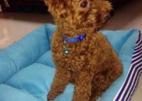 寻狗启示,晋江SM广场附近寻爱狗泰迪必有重谢,它是一只非常可爱的宠物狗狗,希望它早日回家,不要变成流浪狗。