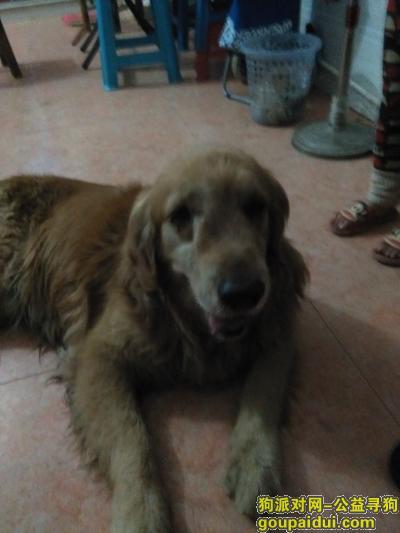 莆田寻狗主人,捡到一只金毛犬希望找到它的主人,它是一只非常可爱的宠物狗狗,希望它早日回家,不要变成流浪狗。
