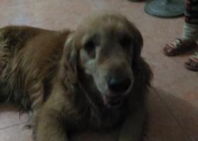 寻狗启示,捡到一只金毛犬希望找到它的主人,它是一只非常可爱的宠物狗狗,希望它早日回家,不要变成流浪狗。