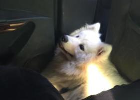 寻狗启示,重金酬谢。寻找我家萨摩。一岁大了。,它是一只非常可爱的宠物狗狗,希望它早日回家,不要变成流浪狗。